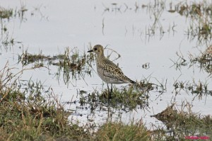 MP 4 Pacific Golden Plover Riverstone