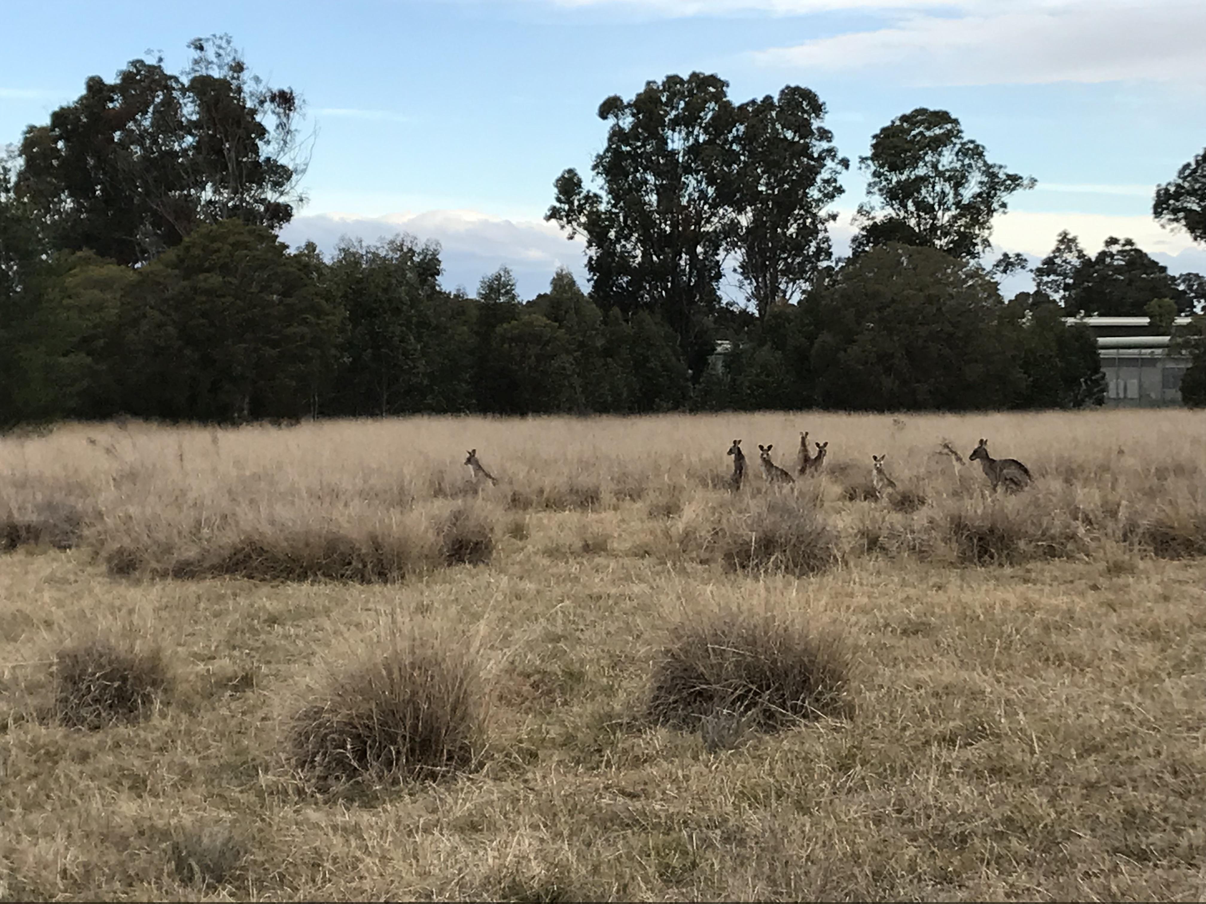 Werrington Kangaroos